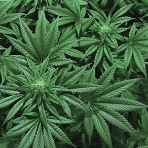 The 420 on Canada's Marijuana Legalization